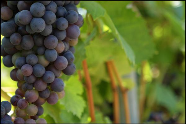 wine-grapes600